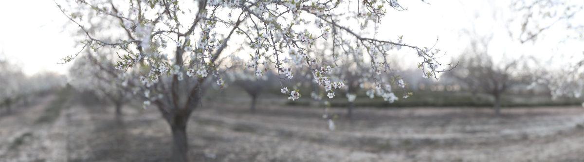 Kedma almond blossoms
