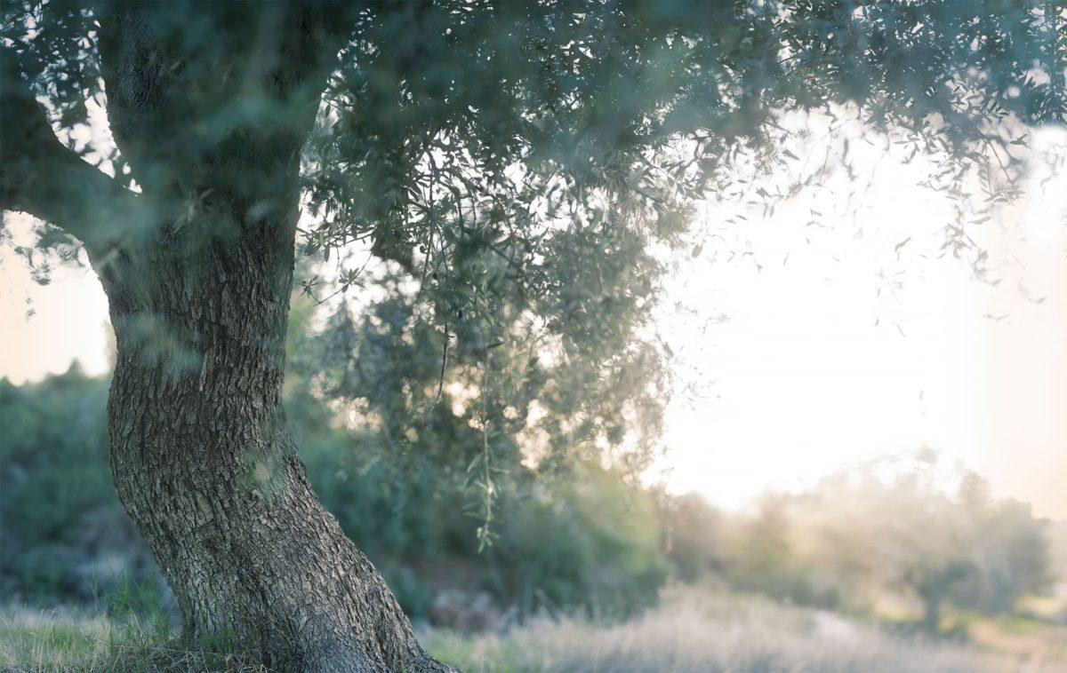 Beit Shemesh Olive Tree