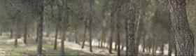 XH10276 Lahav Pine Forest thumbnail