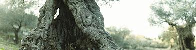 XH13055 olive tree thumbnail