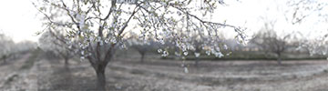 XH15280 Kedma Almond Blossoms thumbnail